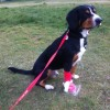 My human came to take me out for a walk while I was in hospital - check out the pawsome plastic sock!