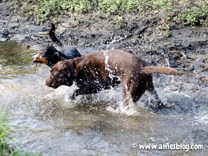 Alfie and his choc Lab buddy Tazer