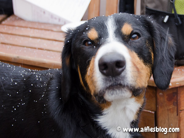 bella-entlebucher-dog-birthday-party-2949