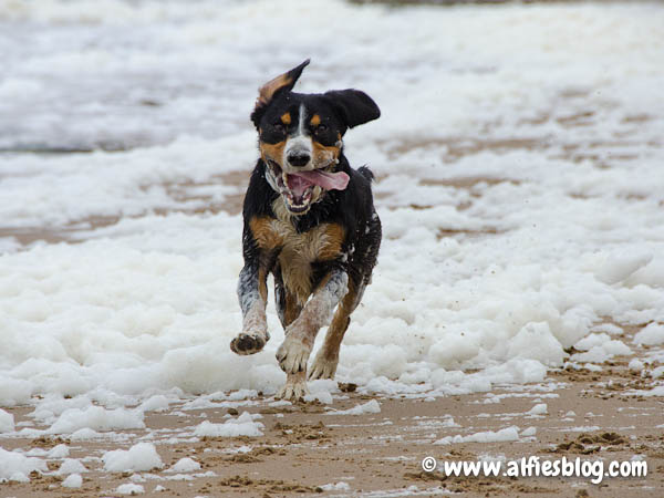 entlebucher-mountain-dog-beach-3429