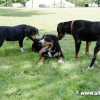Entlebucher-mountain-dogs-3741