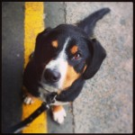 alfie entlebucher mountain dog waiting at platform