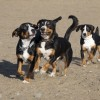 Alfie, Jax and Roman running on the beach