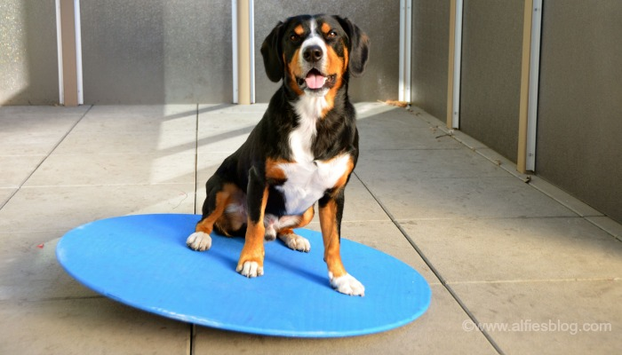 Alfie balancing on his new wobble board