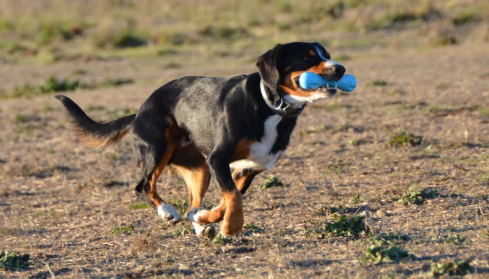 alfie-blue-bone700x400.jpg