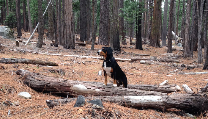 alfie-tahoe-national-forest.png
