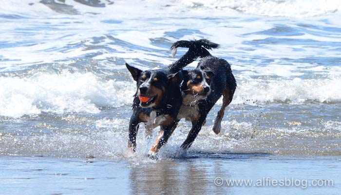 Entlebuchers running on the beach