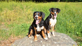 Entlebucher Mountain Dogs Alfie and Brise
