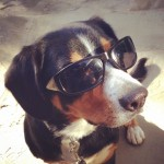 Alfie the Entlebucher wearing sunglasses