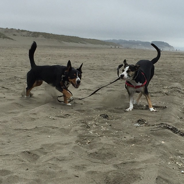 Rooo I met a new friend at the beach - the good news is she didn't steal my ball. Can u guess what the bad news is? *waggy tail*