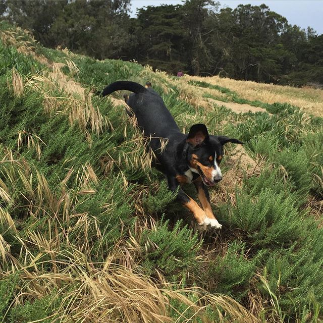 Sniffing for hidden treasures at Fort Funston *waggy tail*